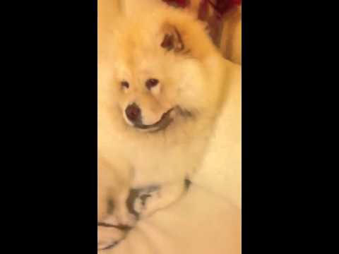 Chow Chow Cane Piú Bello Del Mondo Youtube