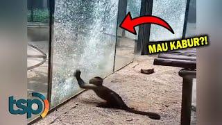 Monyet Stres Ini Memecahkan Kaca Kandang Dengan Batu Hingga Akhirnya...
