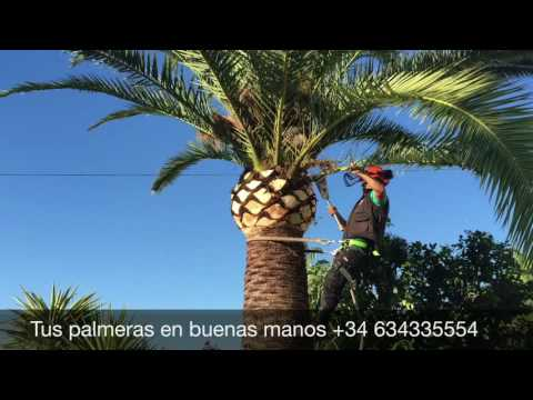 Palm cleaning, pruning palms