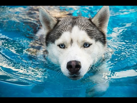 Funny Animals – Funny Dog Videos – Funny Dogs Swimming in Pool Compilation 2016