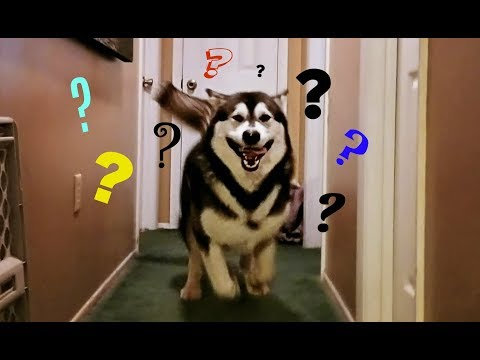 Can Alaskan Malamutes Be Calm Inside The House????