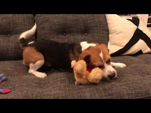 American beagle puppy meets British teddy bear