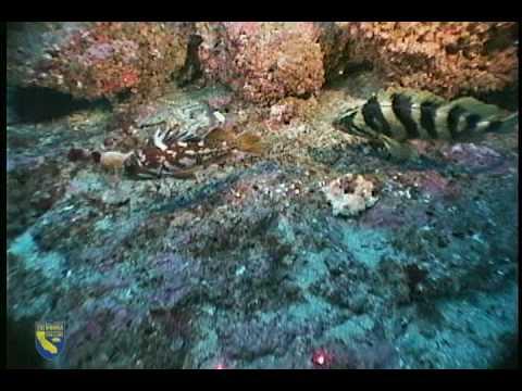Treefish (Sebastes serriceps)