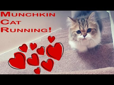 Munchkin cat running up and down the stairs! マンチカン 子猫