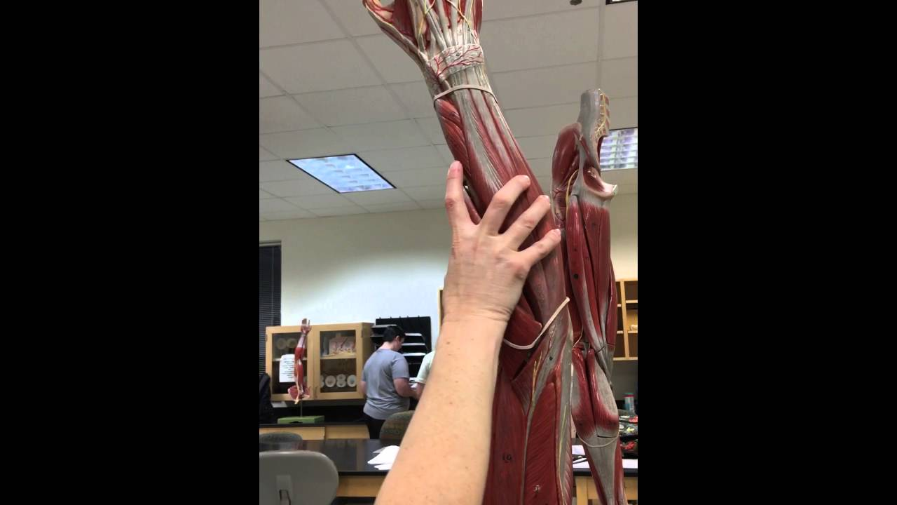 Muscles on Arm Model: TCC Lab 18Apr - YouTube