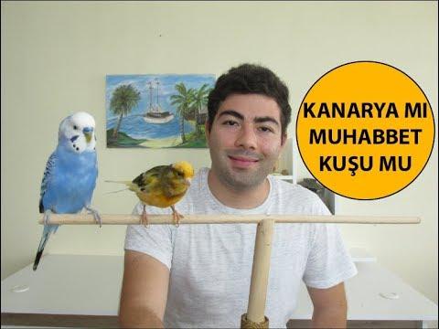 Muhabbet Kuşu Mu Kanarya Mı