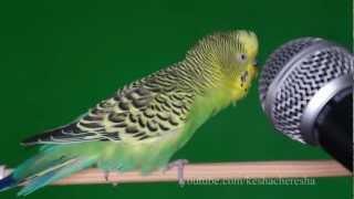 Попугай Кеша с микрофоном напевает и пританцовывает !!! – keshacheresha