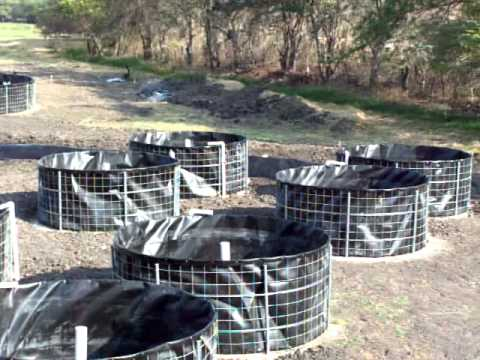 Tilapia en tanques de geomembrana trinitaria chiapas for Tanques para cria de tilapia