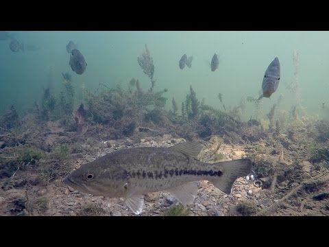 What Happens When You Fish for Spawning Bass? Underwater Bed Fishing Tutorial