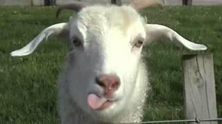 Mana di mana anak kambing saya lagu daerah