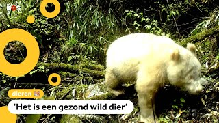 Zeldzame witte panda gefilmd