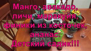 🌺 Манго, авакадо, личи, маракуйя, финики из косточек, ананас. Детский садик!!!