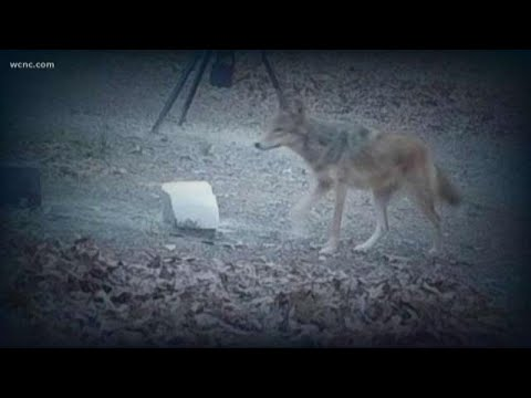 Coyote comes within steps of family's home in northwest Charlotte