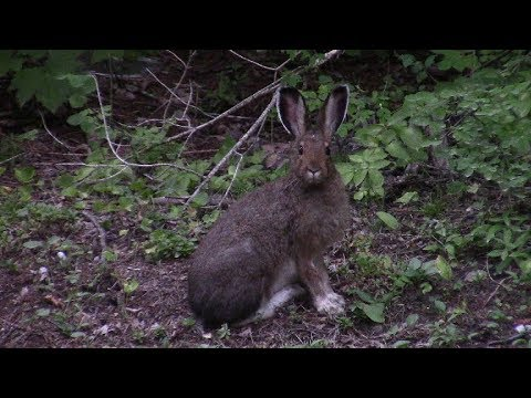 Wild Rabbit Eating - cute close up video- Whiteswan Provincial Park, BC, Canada