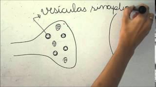 Sinapse nervosa  (Draw my Sinapse)