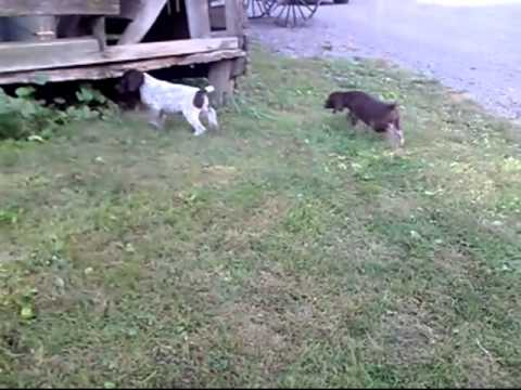 German Shorthaired Pointers Brittany Mixes
