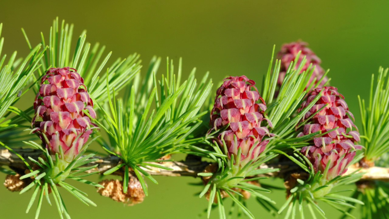 La flor de Bach Larch o Alarce