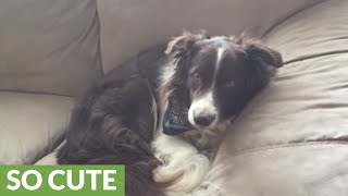 Border Collie uses puppy eyes when caught on couch