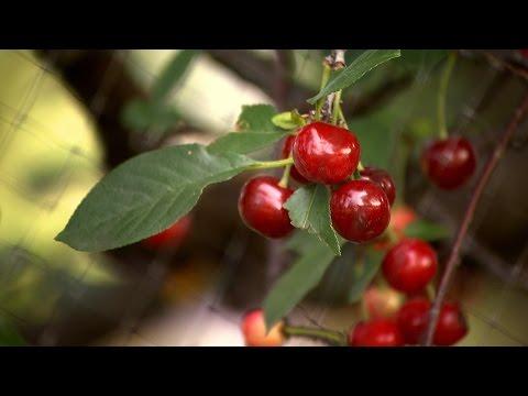 Growing Cherries   Iowa Ingredient