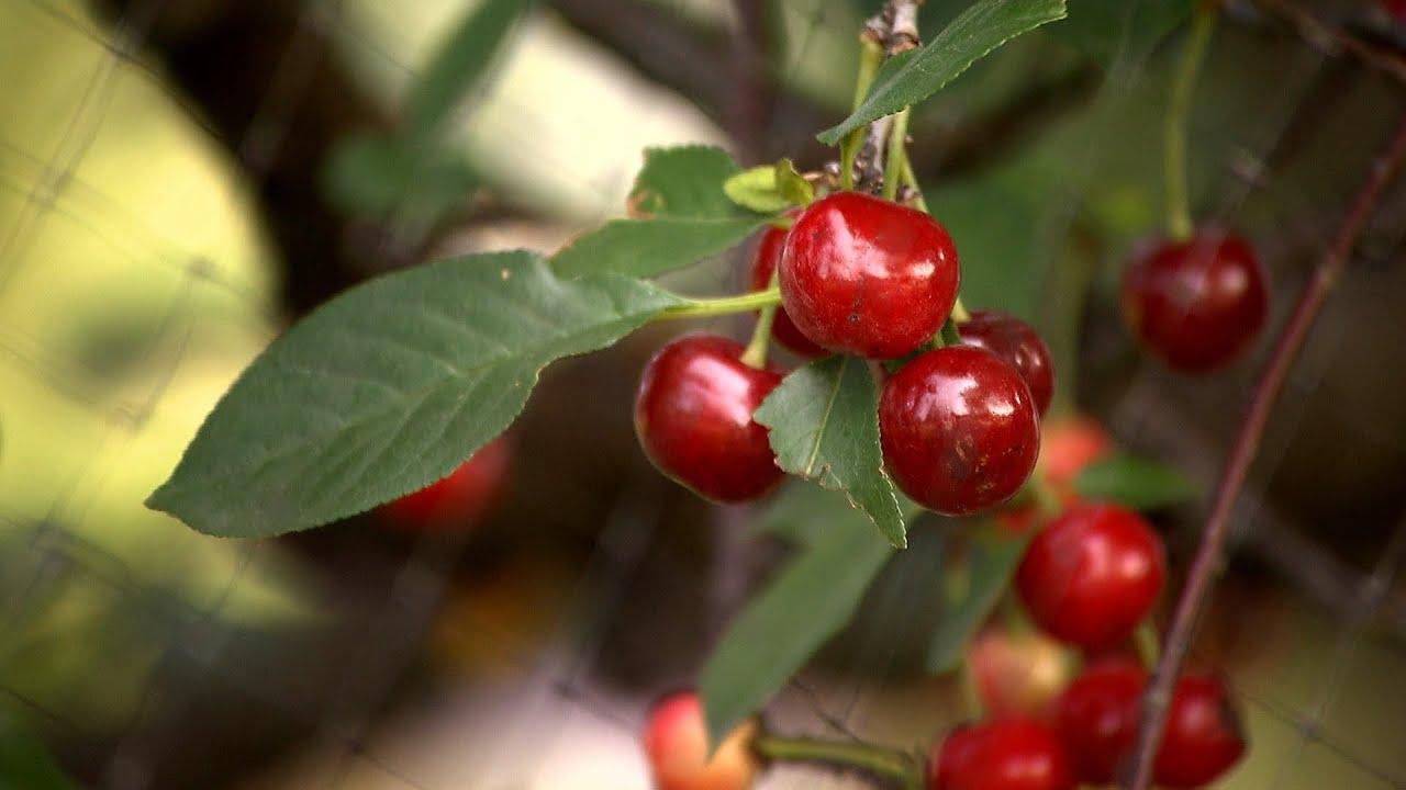Growing Cherries Iowa Ing