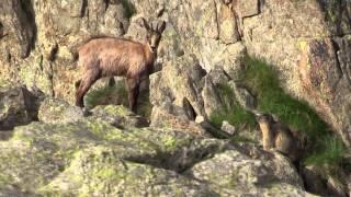 chamois marmotte