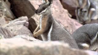 Renault Argentina. Pumas vs. Wallabies
