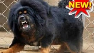 Giant & Huge Dog Breeds | Video