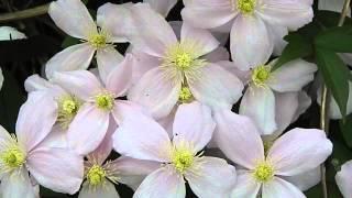 Clematis montana 'Elizabeth'