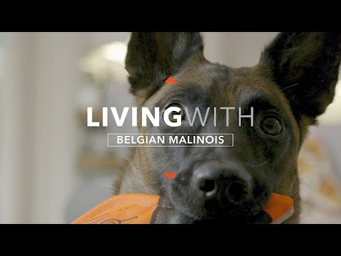 ALL ABOUT LIVING WITH THE BELGIAN MALINOIS