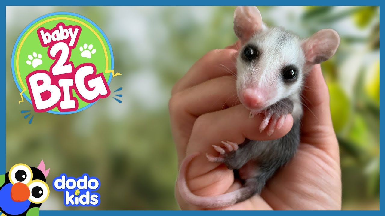 Adorable Possum Slobbers All Over Rescuers To Show His Love | Baby 2 Big | Dodo Kids