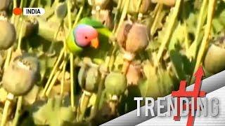 Mga parrot sa India, na-adik sa opium