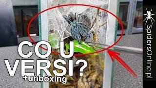 Co u VERSI? 2 WYLINKI! + Unboxing MURINÓW - spidersonline.pl