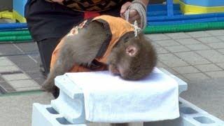 かわいすぎるお猿の頭突きブロック割り at 第39回野毛大道芸 猿回し 空豆、なつみかん 2013年4月