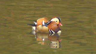 How Did a Rare Duck Native to Japan Wind Up in New York City?
