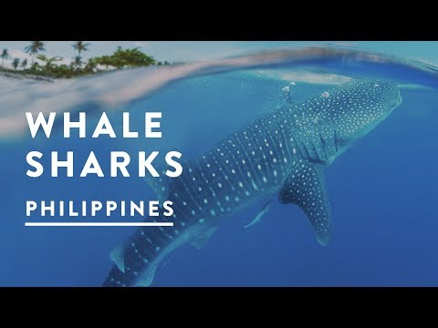 INCREDIBLE WHALE SHARKS of Oslob, Philippines 2017 - Cebu Travel