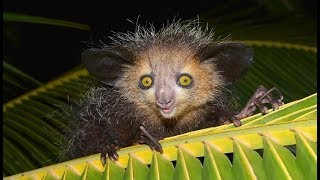 Aye-Aye - Misterious and Unusual