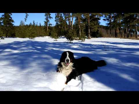 Rolling in the last snow of this winter. Bernese Mountain Dog
