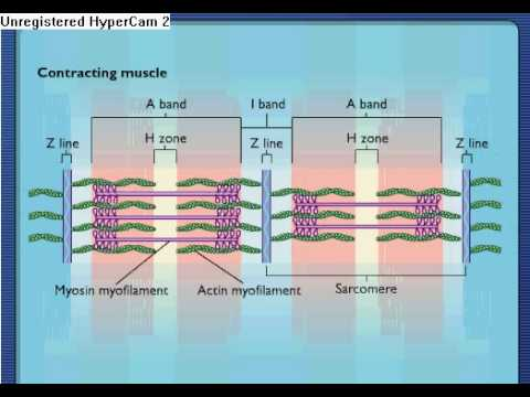 Sarcomere Contraction - Process Of Muscle Contraction With Myosin & Actin