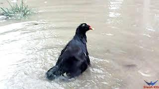 Download Incar Burung Mandar Pada Saat Hujan