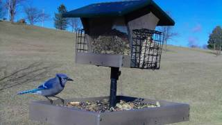 Blue Jays, Chickadees & Female Junco : Wild Bird House Video