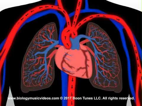 The Circulatory System Animated Song  (How The Heart Works)