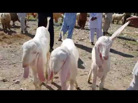 Repeat Bakra Mandi Mandi wala 03496789033)(2019)(3)(10