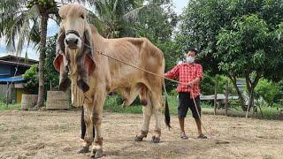 ฮอตสุดๆครับสำหรับจ้าวหนูหูหยุดโลก หูยาวแบบสุดเขตประเทศไทย by.เสี่ยริน ปักธงชัย