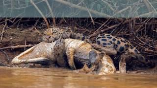 ШОК мир животных брат ест брата