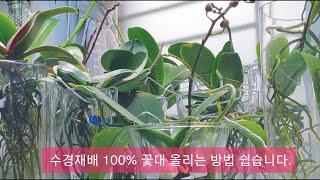 호접란 반 수경재배 100% 꽃대 올리는 방법 쉽습니다…