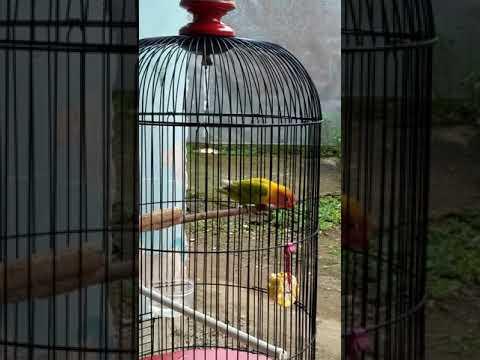 Lovebird BANYU LANGIT Semakin mendekati konslet, garangan sf kota angin