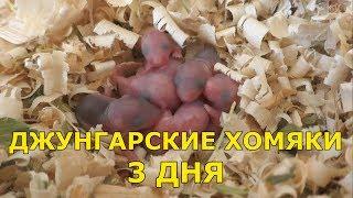 Джунгарские хомяки - 3 дня