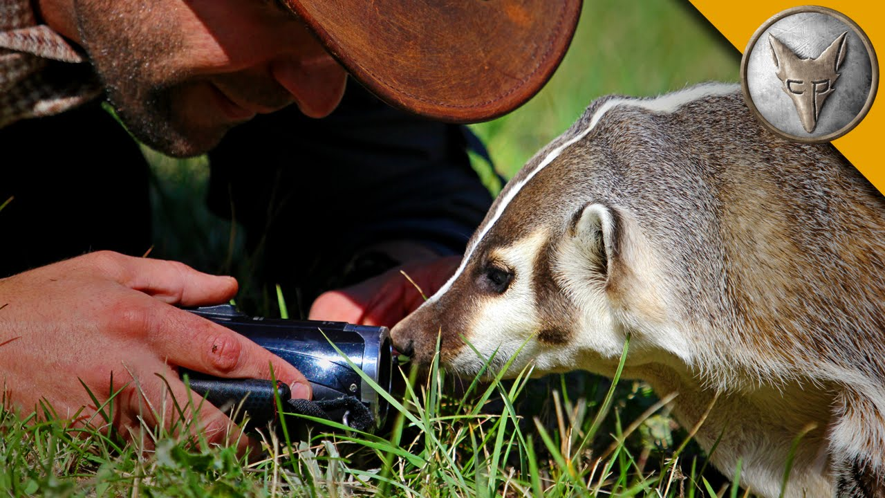 The Badger Whisperer - Face to Face with the American ...