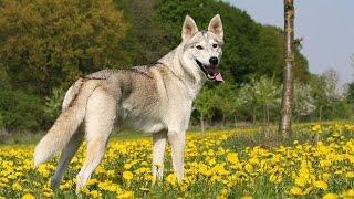 Утонаган - внешность волка, дух собаки