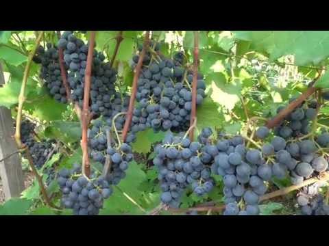 Киевская область, 3 сентября 2016 года. Технические сорта винограда.  .